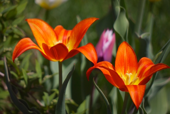 Some tulips from last year's garden.