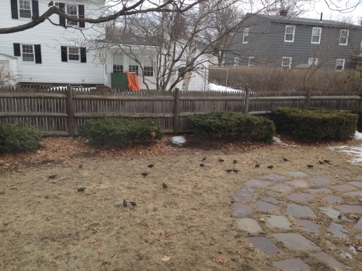 A small sampling of the starlings that hung out in the yard today.