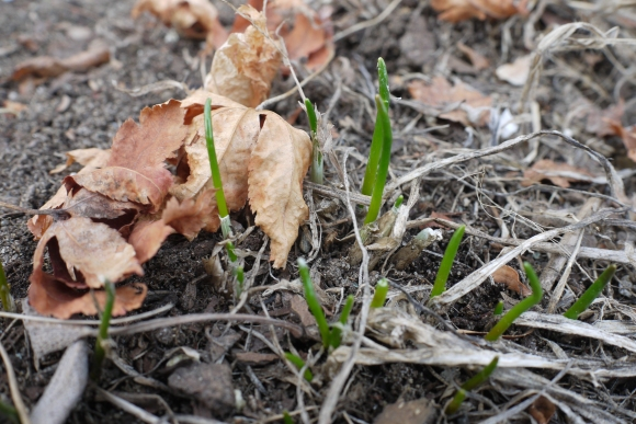 Chives are starting to peek out, even in this cold weather!