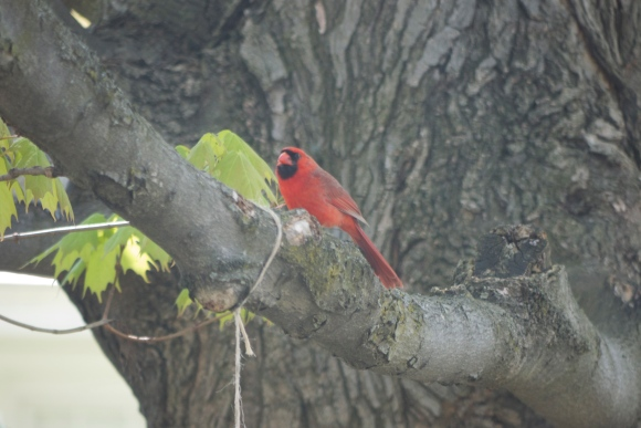 A cardinal 'cause he's pretty.